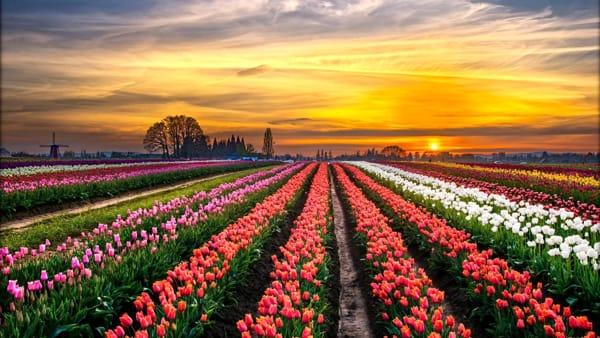 Apre a Roma Tulipark, il parco da 300 mila tulipani