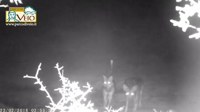 I lupi sono tornati a Roma (VIDEO)